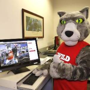 Gray wild cat mascot at computer looking at camera
